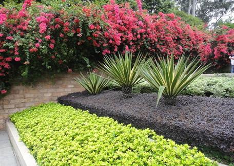 观叶类绿篱植物有:红花继木
