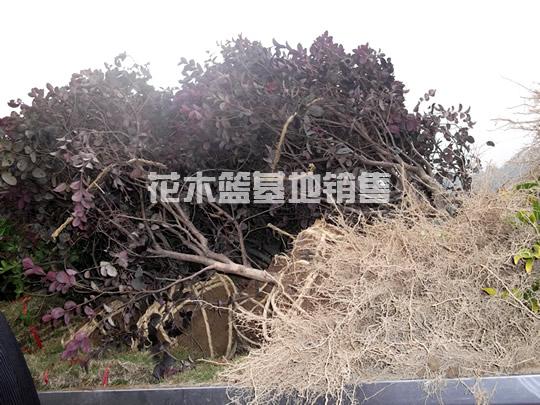 【邵阳】刘先生采购海棠球,垂柳,红花继木球,马尼拉