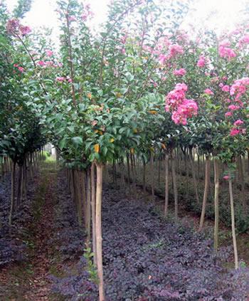紫薇树皮光滑,是优良的园林观赏花木,亦是良好的树桩盆景种类之一.